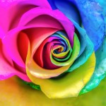 Colorful rainbow rose.